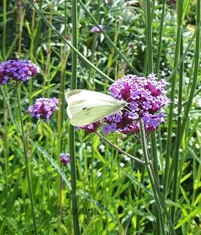 Vlinders for Vliegen in de tuin